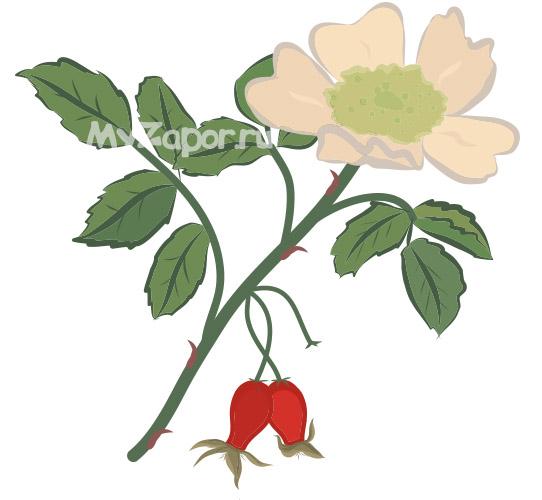 Ветка шиповника с цветком и плодами