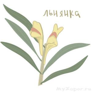 Цветы и листья льнянки